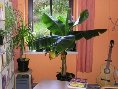Die Bananenpflanze als Zimmerpflanze – Was muss ich bei der Pflege beachten?