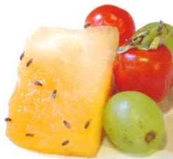 Mittel gegen fruchtfliegen und obstfliegen for Fruchtfliegen pflanzen