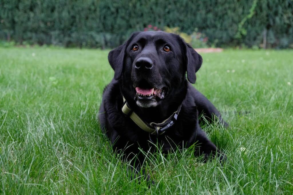 Trotz Hund einen satt grünen Rasen: 6 hilfreiche Ratschläge